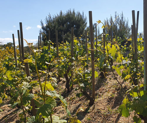 vignes pays basque